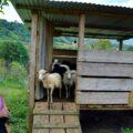 Los ovinos producen una variedad de productos y servicios: estiércol para labranza, animales en pie y lana. Cortesía: Yaxalum Chiapas.