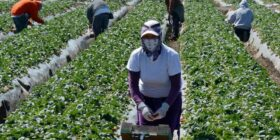 jornaleros-agricolas-mexicanos-canada-contagios-covid-19
