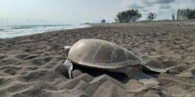 La historia de la familia que está salvando a las tortugas del Golfo de México