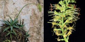 Agave garciamartinezii en su hábitat: acantilados del Parque Nacional Cañón del Sumidero. Cortesía: Plantas Mexicanas