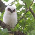 Búho corniblanco (Lophostrix cristat). Cortesía: Aves rapaces